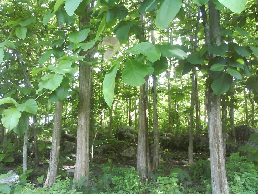 hutan-jati-hijau